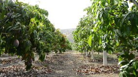 Plantation of fruit trees stock video footage