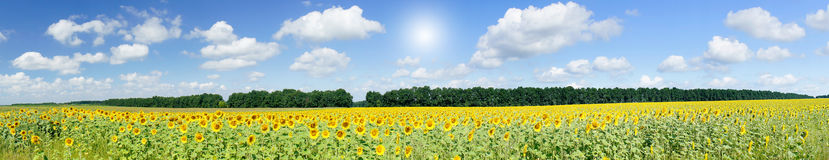 Plantation of golden sunflowers. Royalty Free Stock Photography