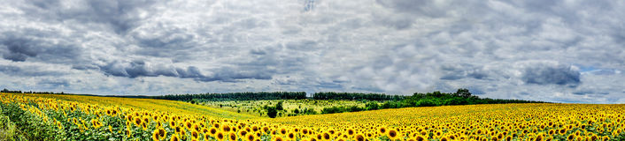 Plantation of golden sunflowers. Royalty Free Stock Photos