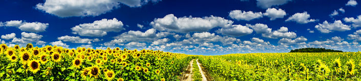 Plantation of golden sunflowers. Stock Images