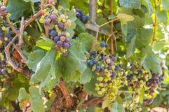 Plantation of grape Royalty Free Stock Photo