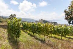 Plantation of grape Royalty Free Stock Photos