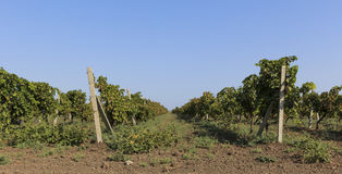 Plantation of grapes in Masalli(Azerbaijan) Stock Photos