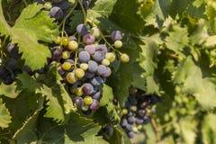 Plantation of grapes in Masalli(Azerbaijan) Royalty Free Stock Photo