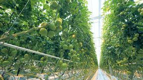 Plantation of green tomatoes in a lightened greenhouse. 4K stock video footage