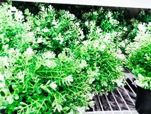 A plantation of home plants of rich green color, growing at home in a pot. thyme is a year-round flower. white pot.. stock photo