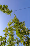 Plantation of hops against the blue sky Royalty Free Stock Photo