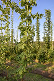 Plantation of hops against the blue sky Royalty Free Stock Photography