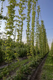 Plantation of hops against the blue sky Stock Photo
