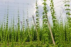 Plantation of hops Royalty Free Stock Photos