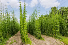 Plantation of hops Stock Image