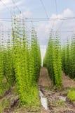 Plantation of hops Stock Images