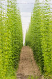 Plantation of hops Stock Photography