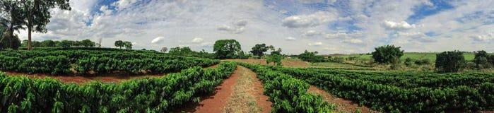 Plantation - jeune paysage d'horizon de plantation de café Photographie stock