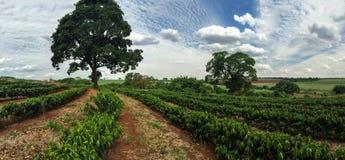 Plantation - jeune paysage d'horizon de plantation de café Images libres de droits