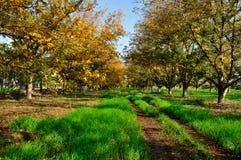 Plantation la noix de pécan Photographie stock libre de droits