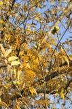 Plantation la noix de pécan Photo stock
