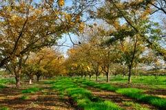 Plantation la noix de pécan Photo libre de droits