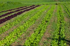 Plantation of Lettuce Stock Photos