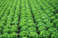 Plantation of lettuces Stock Image