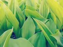 Plantation of Lilies of the Valley Close Up Stock Photography