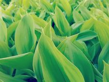 Plantation of Lilies of the Valley Close Up Stock Image