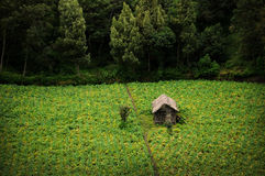 Plantation. A local village plantation in java, indonesia Royalty Free Stock Photo
