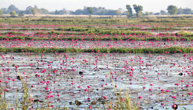 Plantation of lotuses on Inle Lake Royalty Free Stock Photo