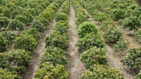 Plantation of mango fruit trees stock footage