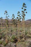 Plantation of medicinal aloe vera plant on Fuerteventura. Royalty Free Stock Images