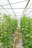 Plantation of melon in greenhouse. Royalty Free Stock Photography