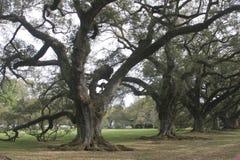 Plantation Oaks. Group of ancient black oak trees on a Louisiana Plantation Stock Photography