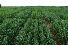 Oat plantation divided in plots stock photo