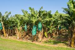 Free Plantation Of Bananas In Guadeloupe Royalty Free Stock Photo - 112710405