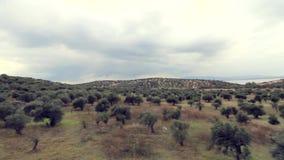 Plantation olive banque de vidéos