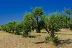 Plantation olive Photos libres de droits