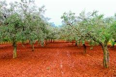 Plantation olive photo stock