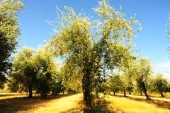 Plantation olive Photos libres de droits