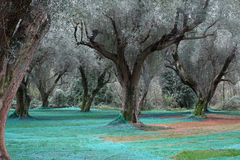 Plantation olive Photo stock