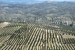 Plantation olive Images stock