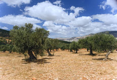 Plantation olive photo libre de droits