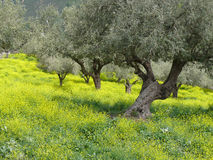 Plantation olive au printemps Photographie stock libre de droits