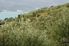Plantation olive dans les collines avec la mer ? l'arri?re-plan images stock
