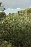Plantation olive dans les collines avec la mer ? l'arri?re-plan image libre de droits