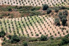 Plantation olive en Crète Photo stock