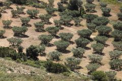 Plantation olive en Provence Photo stock