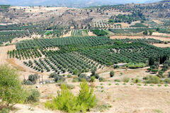 Plantation of olive tree royalty free stock photos