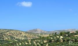 Plantation of olive trees Royalty Free Stock Photos