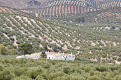 Plantation of olive trees, Andalusia Royalty Free Stock Photos