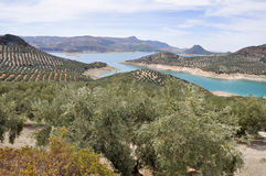 Plantation of olive trees, Andalusia Stock Photo